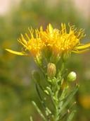 Ericameria laricifolia