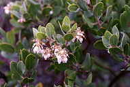 Arctostaphylos glandulosa ssp. glandulosa