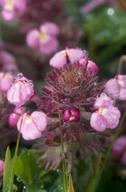 Triphysaria eriantha ssp. rosea