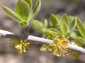 Forestiera pubescens