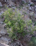 Prunus fremontii