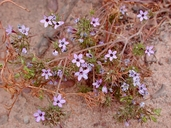 Navarretia hamata ssp. leptantha