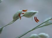 Panicum urvilleanum