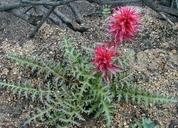 Pedicularis densiflora
