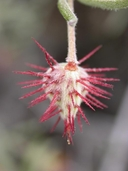 Krameria erecta