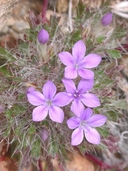 Langloisia setosissima ssp. setosissima