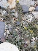 Physaria kingii ssp. latifolia