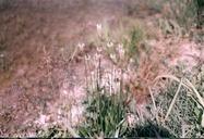 Plantago lanceolata var. lanceolata