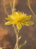 Mentzelia multiflora ssp. longiloba