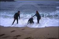 Two UC Berkeley Scientific divers help a struggling sport diver from the water at North Monastery Beach, Carmel