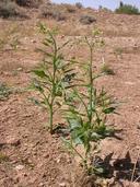 Nicotiana acuminata var. multiflora