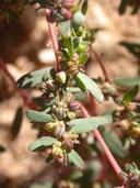 Chamaesyce serpyllifolia