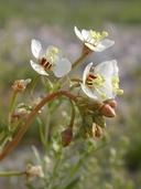 Camissonia claviformis
