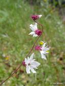 Lithophragma heterophyllum