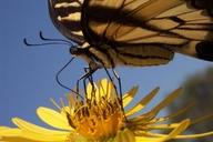 Papilio glaucus glaucus