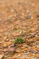Eriogonum apricum var. apricum