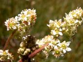 Micranthes oregana
