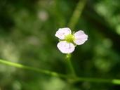 Alisma lanceolatum