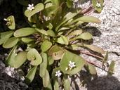 Claytonia rubra ssp. depressa