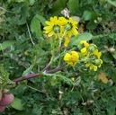 Senecio leucanthemifolius