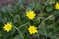 Ranunculus ficaria ssp. ficariiformis