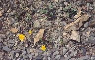 Leptosyne hamiltonii
