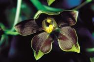 Dendrobium gordonii