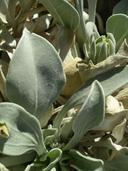 Enceliopsis nudicaulis