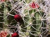 Echinocereus mojavensis