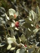 Atriplex confertifolia