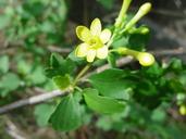 Ribes aureum var. gracillimum