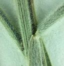 Elymus elymoides var. californicus