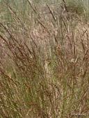Agrostis oregonensis