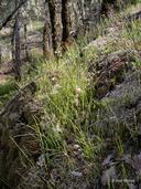 Poa secunda ssp. juncifolia