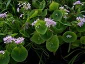 Claytonia parviflora ssp. grandiflora