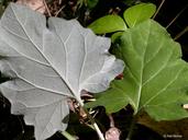 Adenocaulon bicolor