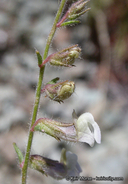 Antirrhinum vexillocalyculatum ssp. breweri