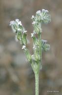 Cryptantha spithamaea