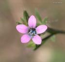 Navarretia sinistra ssp. sinistra