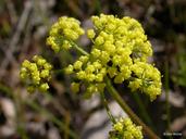 Lomatium utriculatum