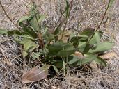 Pyrrocoma racemosa