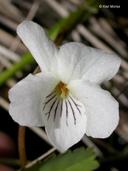Viola primulifolia ssp. occidentalis