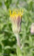 Heterotheca oregona