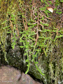 Selaginella wallacei