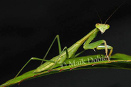 Mombasa Praying Mantis
