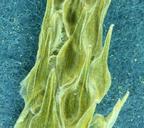 Myosurus apetalus