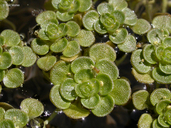 Callitriche heterophylla var. bolanderi
