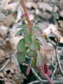 Euphorbia crenulata