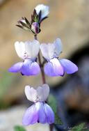 Collinsia multicolor