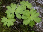 Petasites frigidus var. palmatus